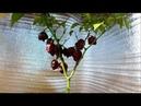 Carolina Reaper на подоконнике в цветочном горшке