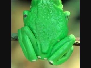 Гигантская обезьянья лягушка