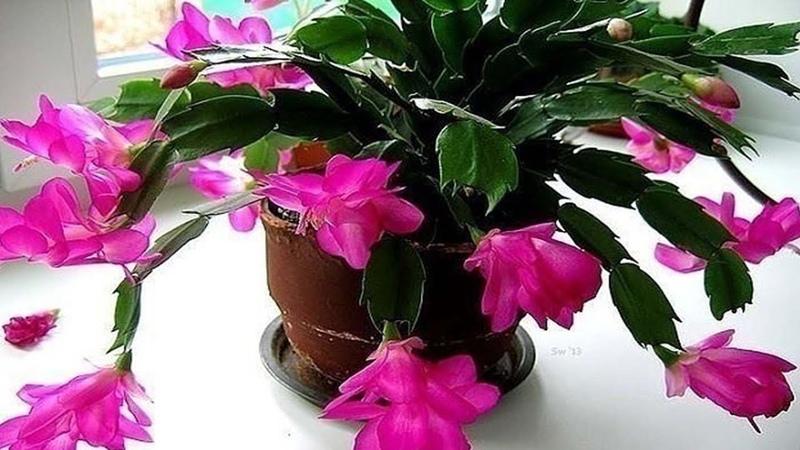 Маленькая хитрость: чтобы цветы в доме цвели пышно и долго.