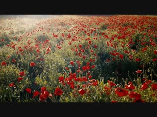 Poppy Field - 16453.mp4