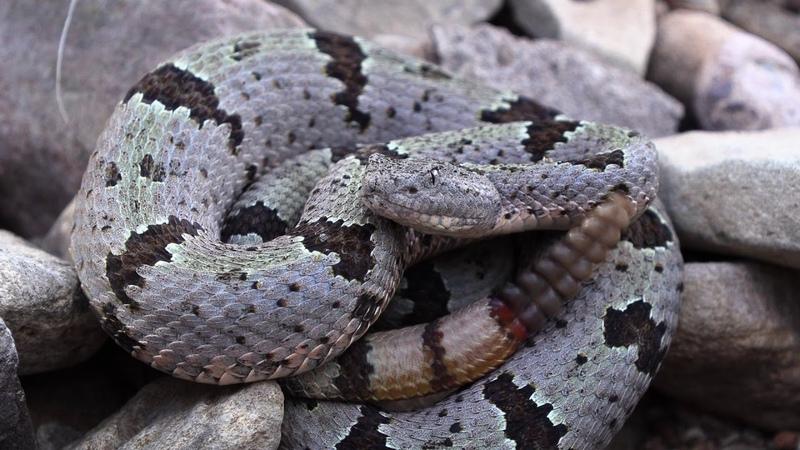 The desert of rattlesnakes - teaser for new documentary from Living Zoology!