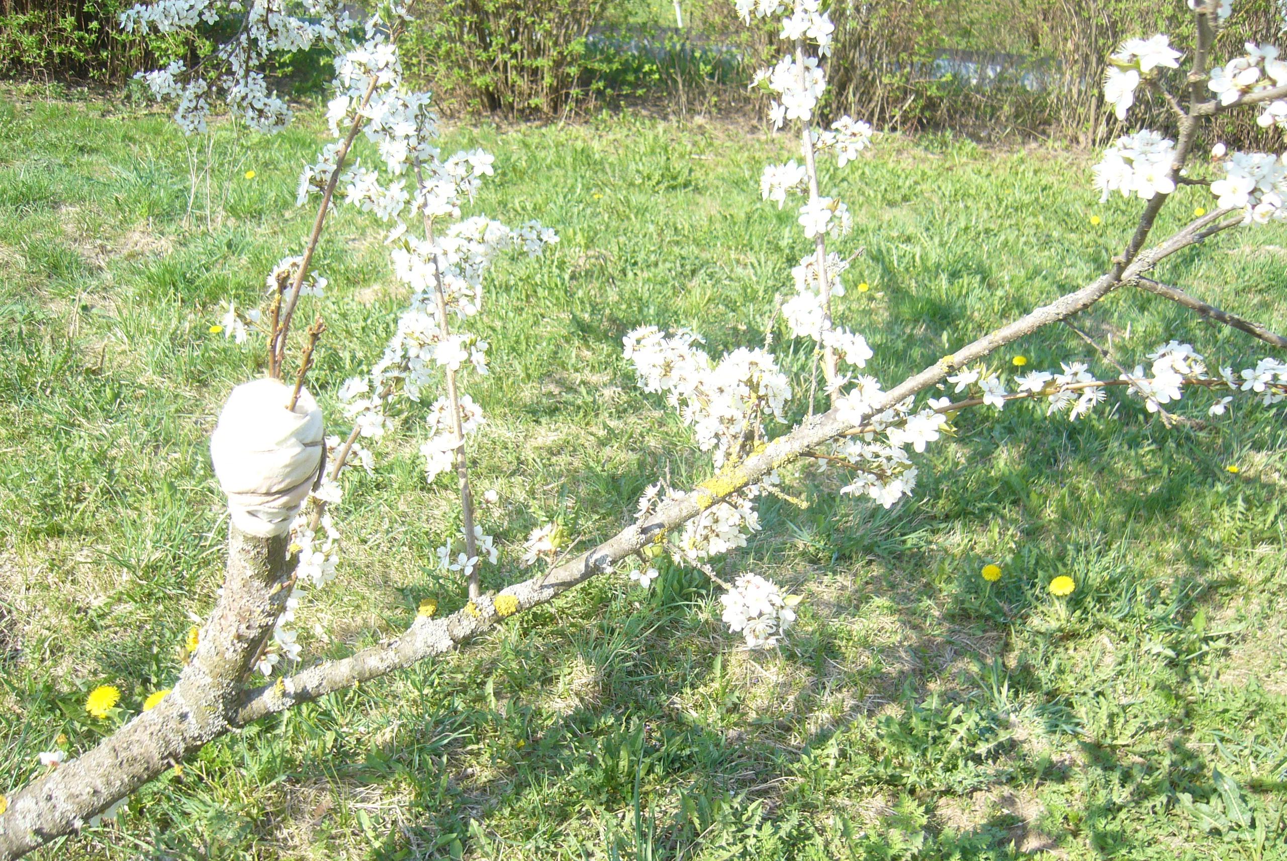 На ваш участок упало соседское плодовое дерево. Ваши действия?