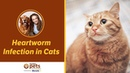 Сердечные черви у кошек / Heartworm Infection in Cats