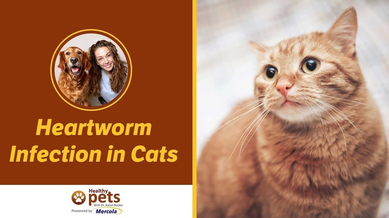 Сердечные черви у кошек Heartworm Infection in Cats