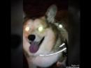 Собака Баскервилей или корги рулит!🐶🐕😁👍