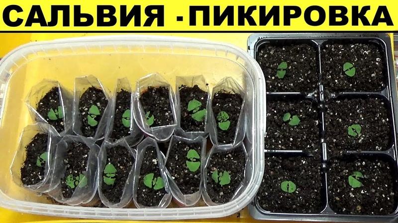 Сальвия из семян Пикировка - как правильно пикировать рассаду сальвии
