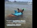 Корги собака серфер