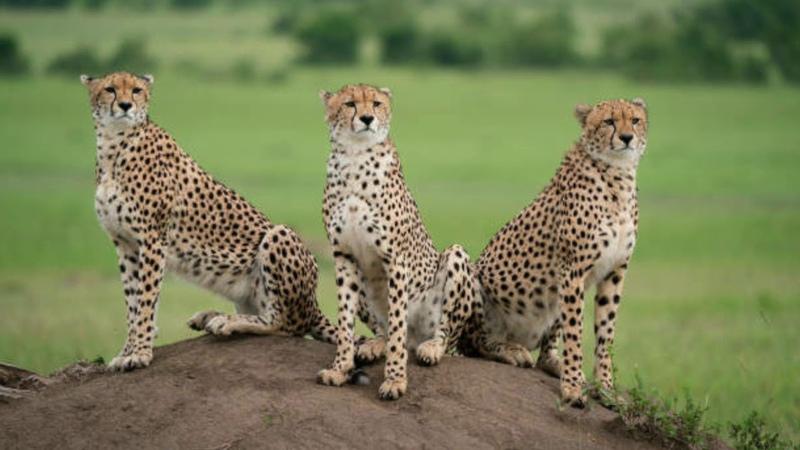 Sonidos animales, el guepardo