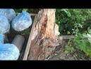Первый долгожданный гриб Шиитаке на чурках. Вешенка на старом корне