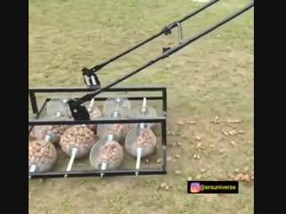 Вот как надо собирать орехи