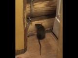 Крысы в доме на базе Архангельская Слобода. Ульяновск