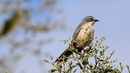 Long-tailed reed finch / Белолицая овсянка / Donacospiza albifrons