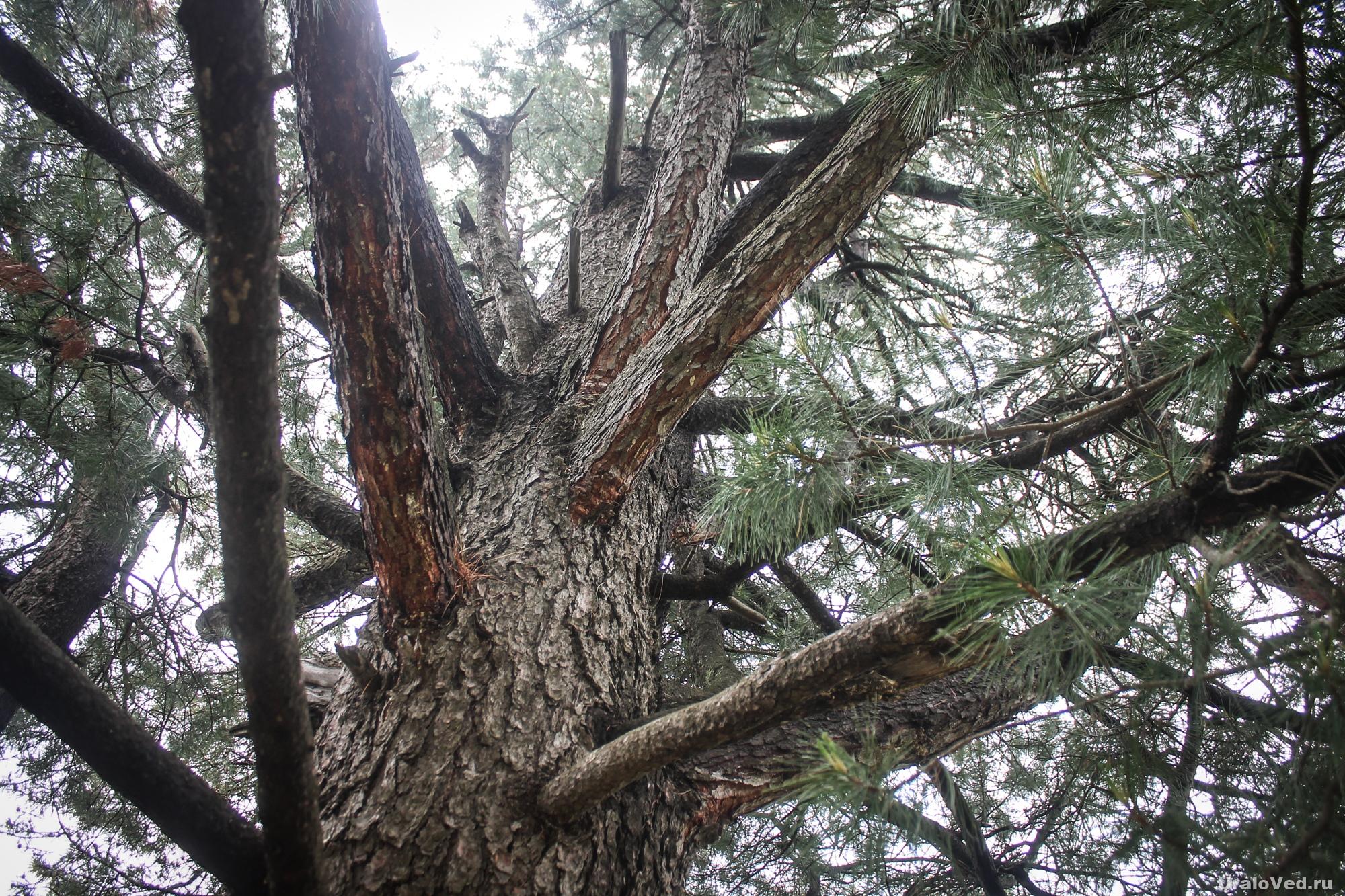 Старая кедровая роща в Ивделе