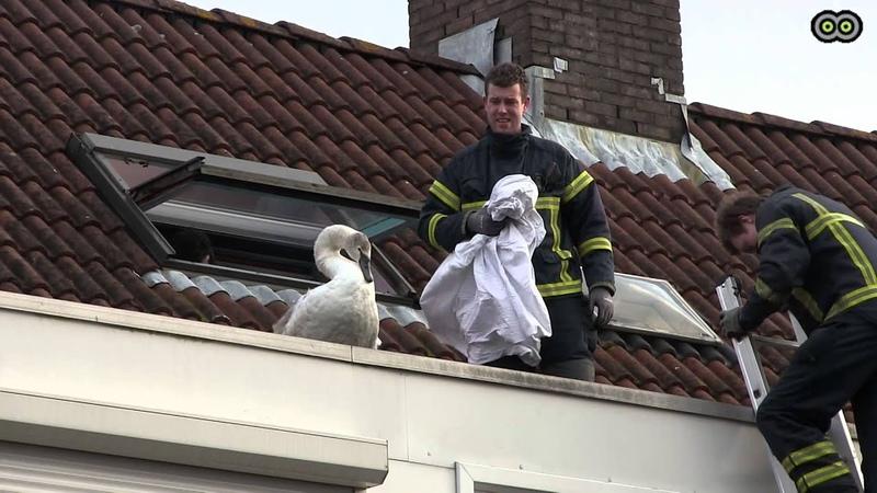Brandweer haalt zwaan van dak in Uithoorn
