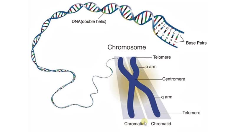 Биология в картинках_ Строение хромосомы (Вып. 70)