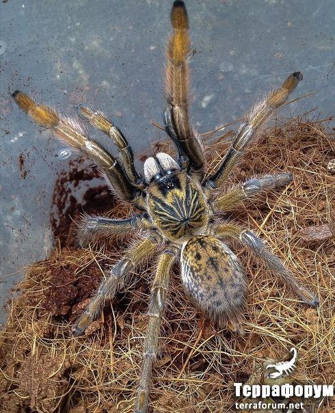 Augacephalus-junodi