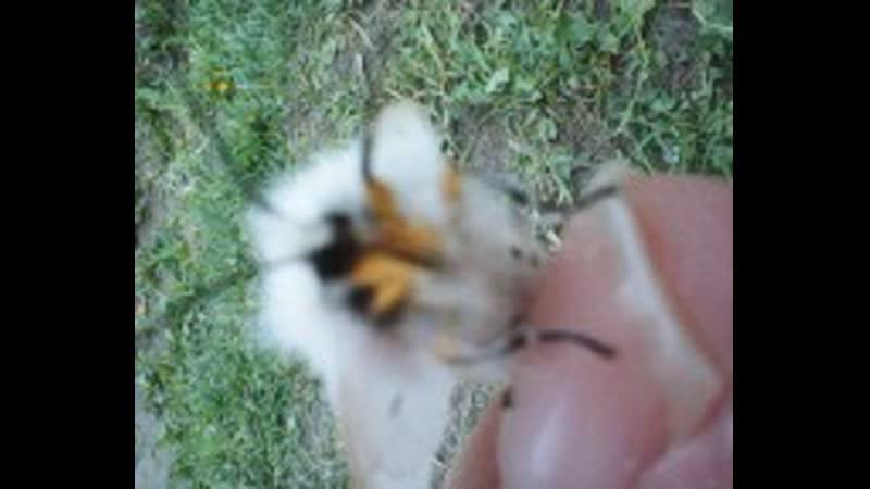 мохнатая бабочка