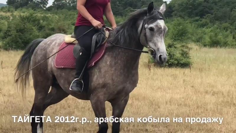 Продажа лошадей арабской породы конефермы Эквилайн, тел., WhatsApp 79883400208 (кобыла Тайгета)