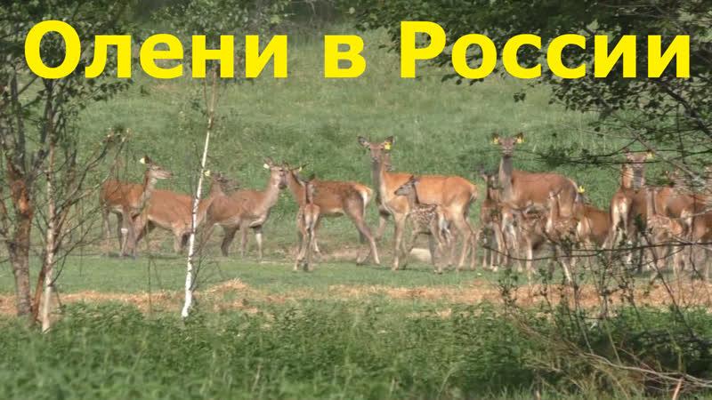 300 Благородных европейских ОЛЕНЕЙ в центре России
