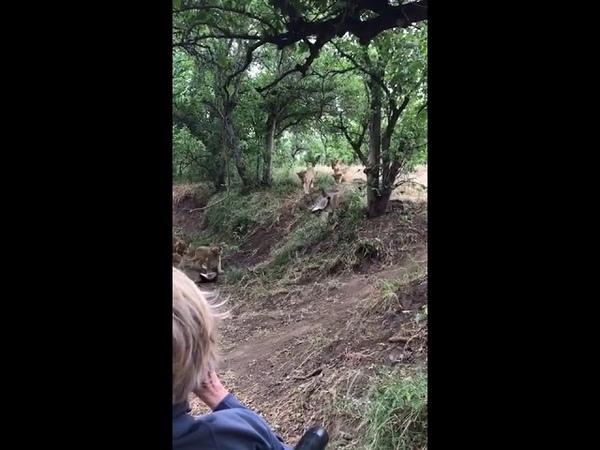 Самка медоеда отбивает детёныша у львов