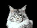 Кот мейн-кун Klondike Grey Claws*RU
