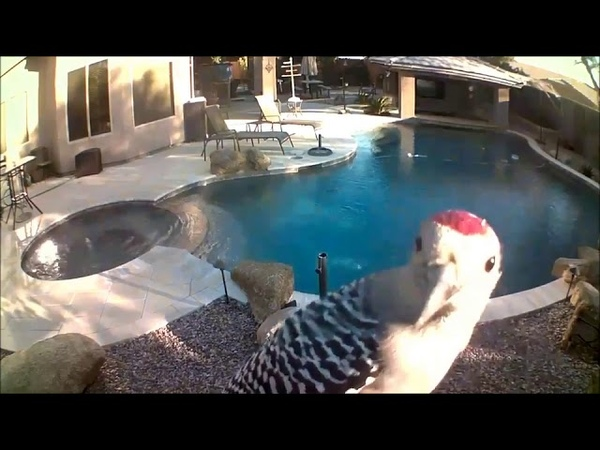 Woodpecker Frantically Pecks at Security Camera 999418 1
