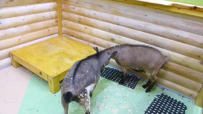 Ручной Зоопарк Ч5 Камерунские козы