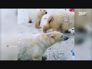 Белые медведи отступают с Новой земли