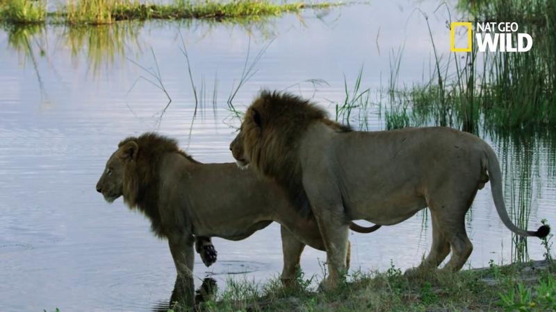 Deux lions frère séparés par l'attaque d'un crocodile