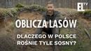 Dlaczego w Polsce rośnie tyle sosny?   Oblicza lasów 28