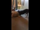 Агрессивный щенок