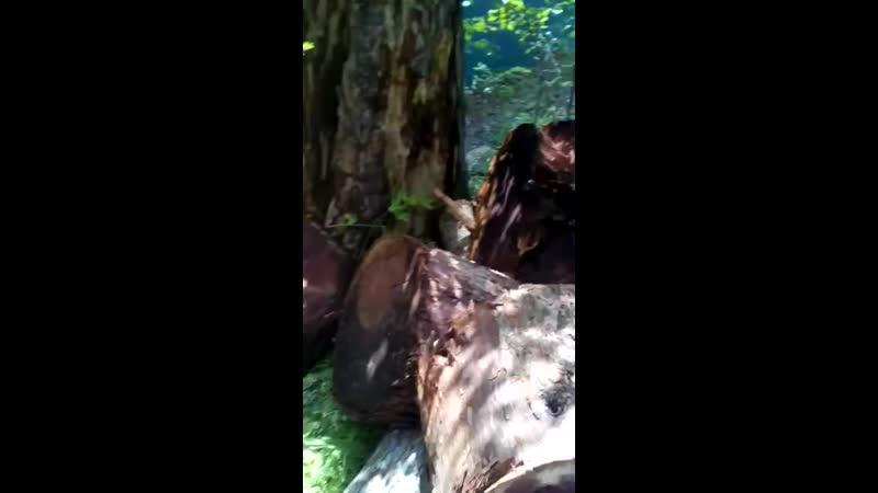 Секвойя Древесина