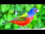 Расписной овсянковый кардинал Painted bunting (лат. Passerina ciris)