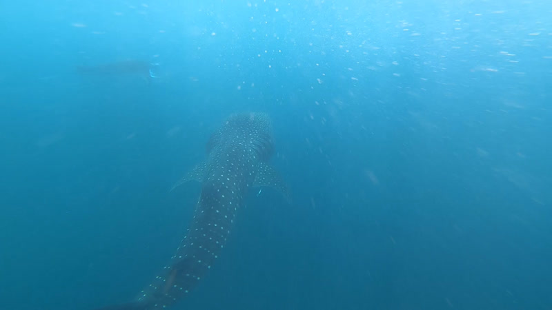 Китовая акула и манты