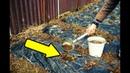 Подкормите этим клубнику осенью в сентябре для мощного урожая на следующий год