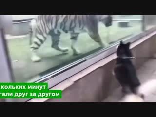Посетители одного из зоопарков Китая сняли на видео забавную игру тигра и хаски