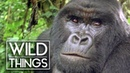 Mountain Gorilla: A Shattered Kingdom [Full Documentary] | Wild Things