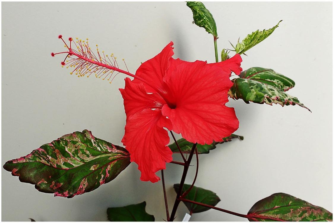 гибискус «Карнавал» (Hibiscus Rosa-sinensis var. cooperi Carnival)