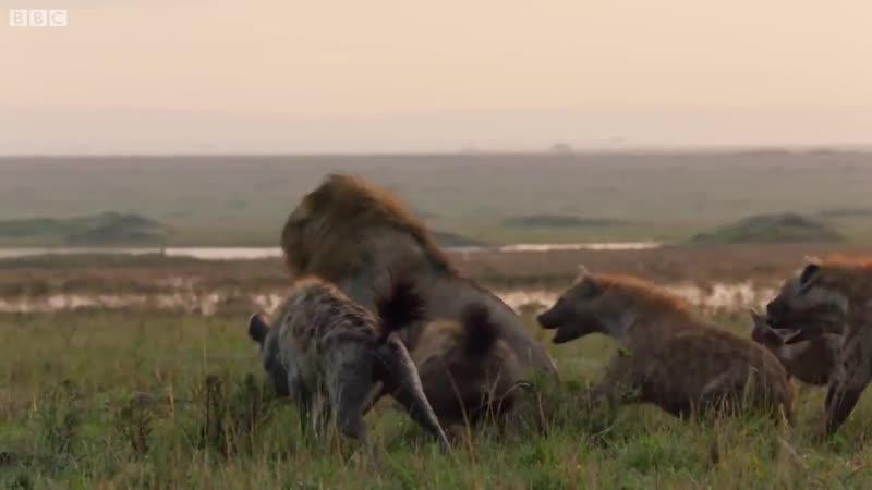 Лев и стая гиен. Один в поле не воин, по-любому!