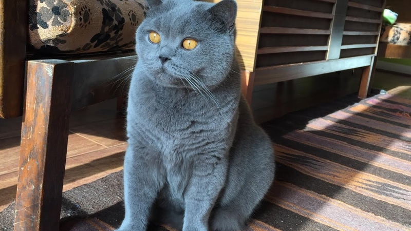 Coconut Blue British Shorthair Loves Brushing