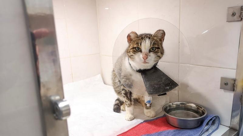 Кошка пошла за женщиной просить о помощи Опухоль параанальных желез Спасаем treat a cat
