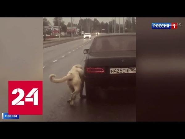 Москвичи спасли собаку от живодера привязавшего ее к движущейся машине Россия 24