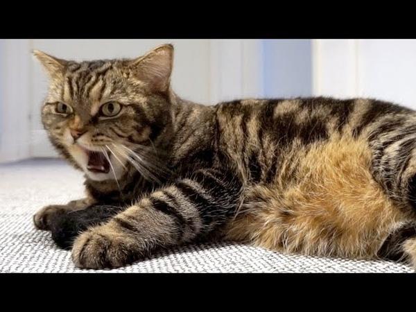 Смешная реакция кота на дёготь Cats funny reaction to the pine tar