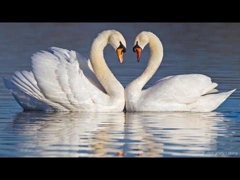 🎵🎵🎵 КРАСИВАЯ МУЗЫКА И КРАСИВОЕ ВИДЕО🎵🎵🎵 ✦ ЛЕБЕДИНАЯ ВЕРНОСТЬ ✦ СЛУШАЙТЕ И СМОТРИТЕ !