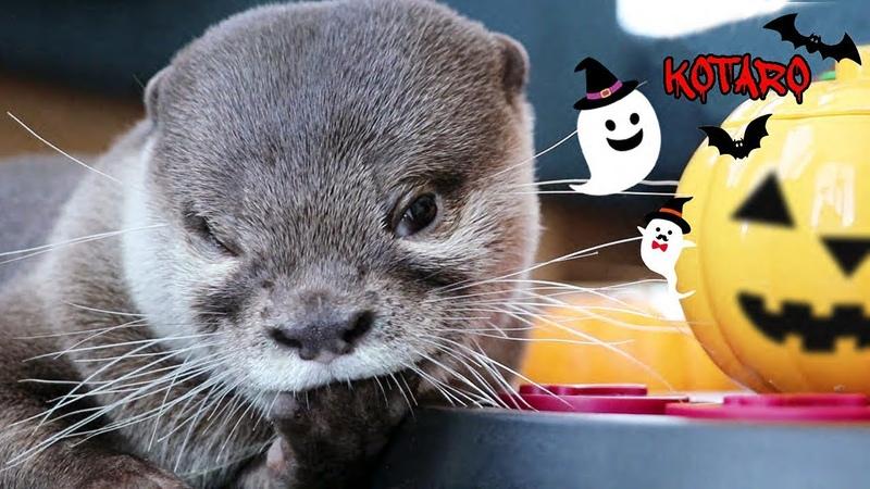 カワウソ コタロー お菓子をくれなきゃ指しゃぶりするぞ! Kotaro the Otter Trick or Suck