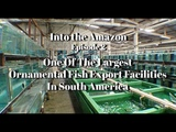Into the Amazon - One of the Largest Ornamental Fish Export Facilities in South America - Episode 2