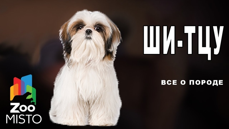 Ши-тцу - Все о породе собаки   Собака породы ши-тцу » Freewka.com - Смотреть онлайн в хорощем качестве