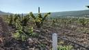 Выращивание фундука Трапезунд, агротехника. Young hazelnut orchard in Crimea ч.2