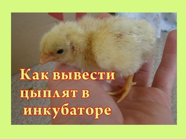 Как вывести цыплят в инкубаторе- Инкубация куриных яиц-пошагово