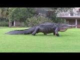 Аллигатор гуляет по полю для гольфа